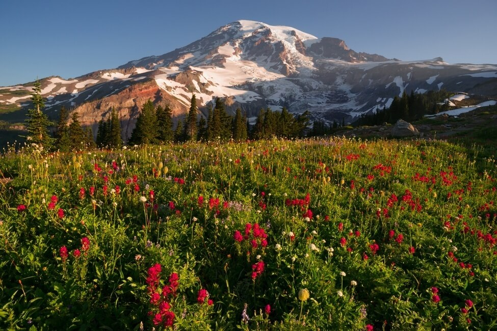 A dramatic and colorful view of Mt. Rainier with wildflowers in full bloom